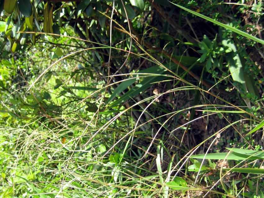 longiflora 长花牛鞭草